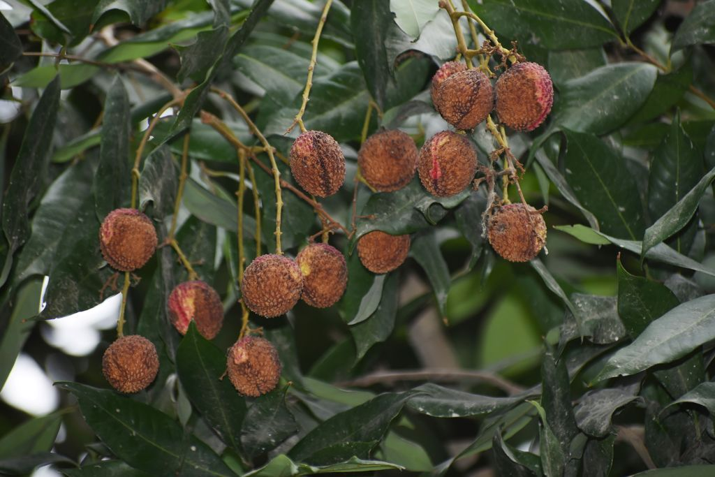 Lychees growing on a tree