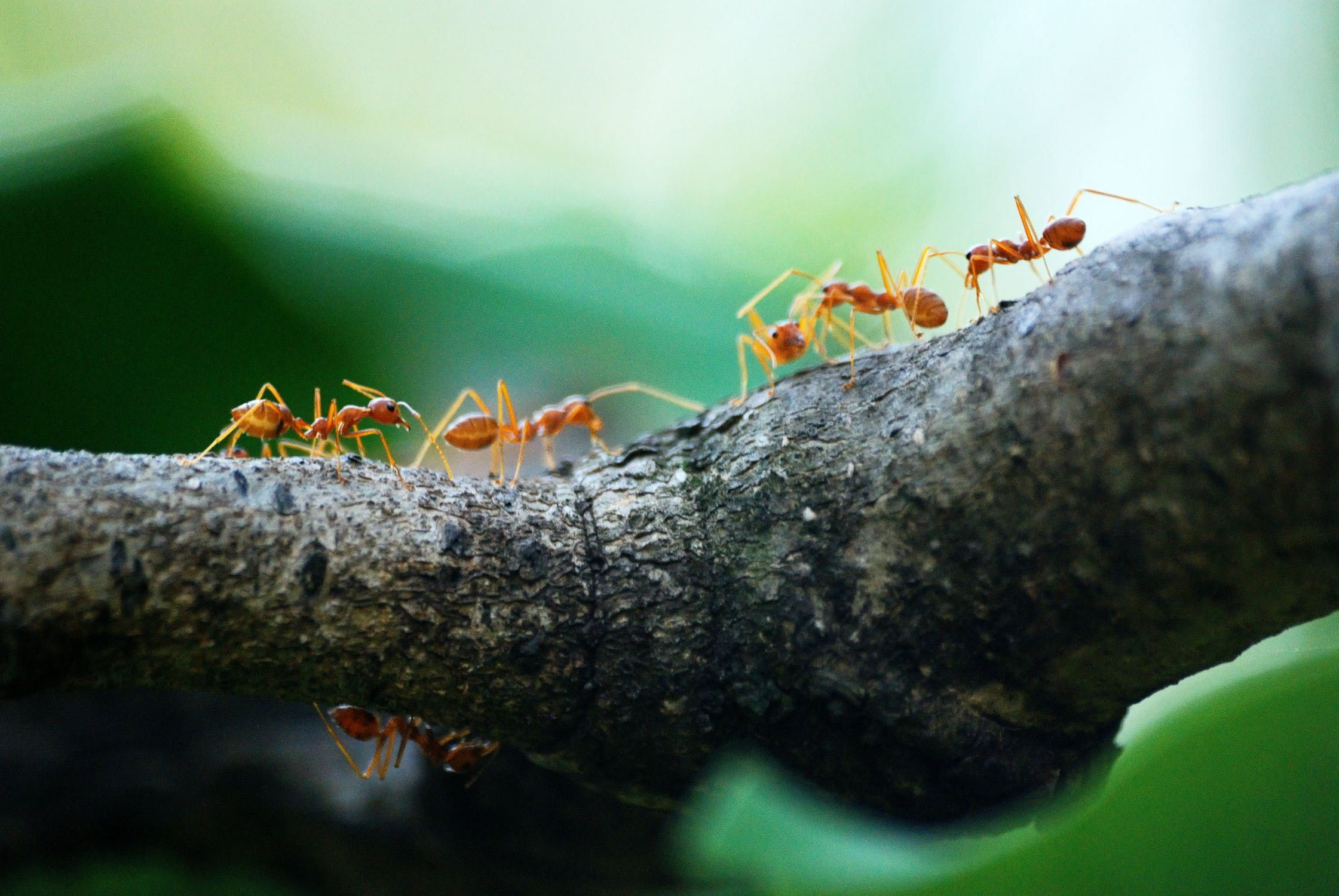 Ants walking on a tree branch