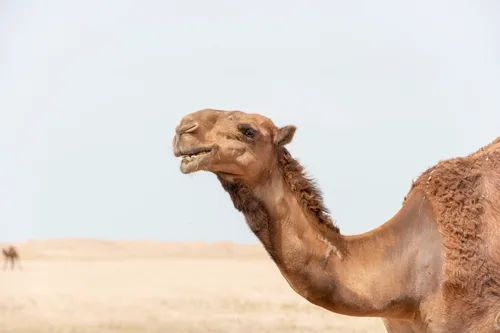 A close up of a brown camel