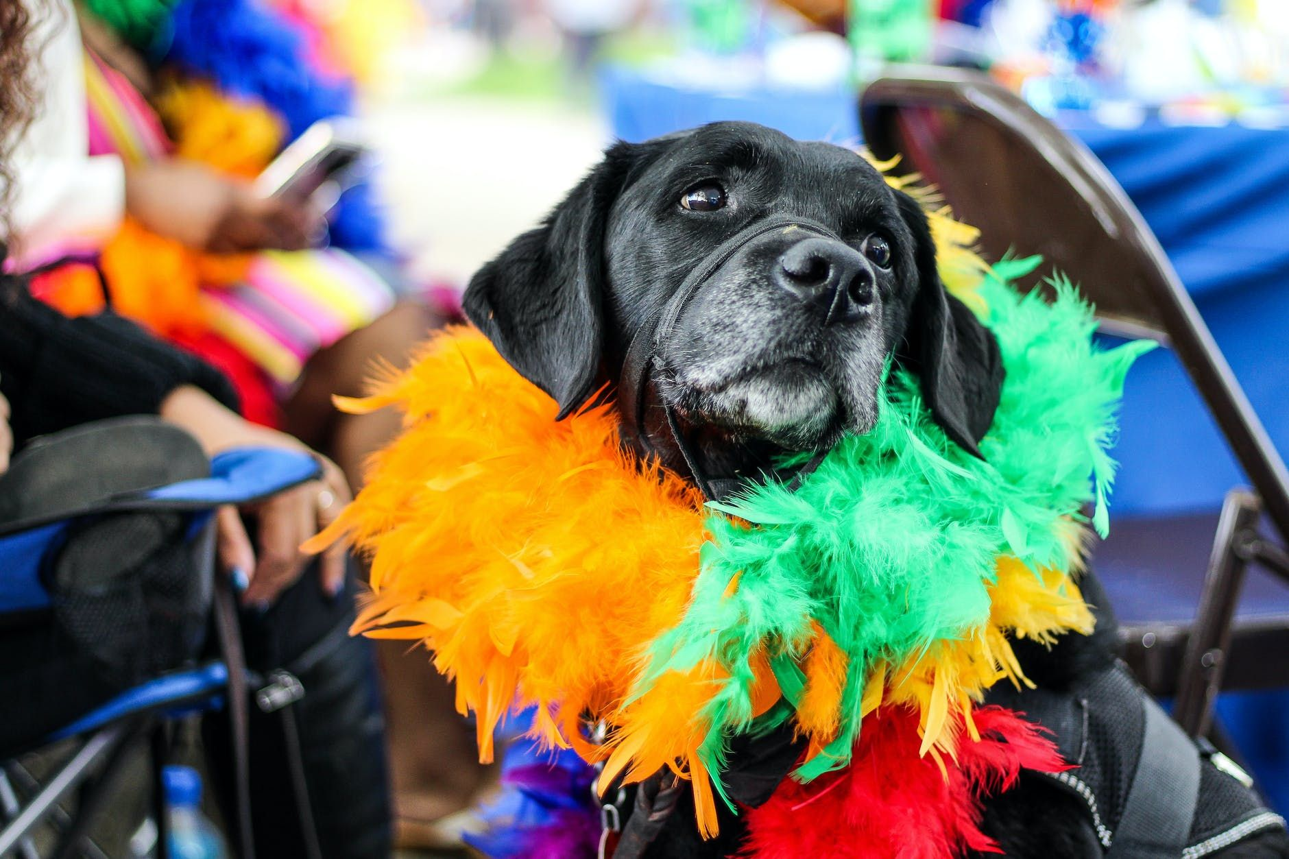 A black dog wearing colorful fur