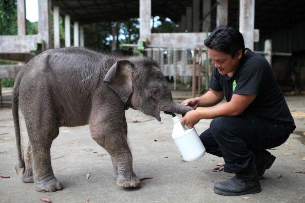 man feeding cute borneo elephant in malaysia