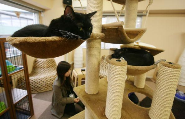 Black cat lying down in Cat cafe