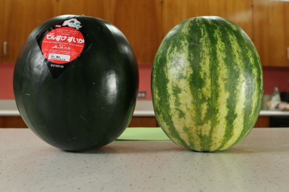 black densuke watermelon opposite a regular watermelon
