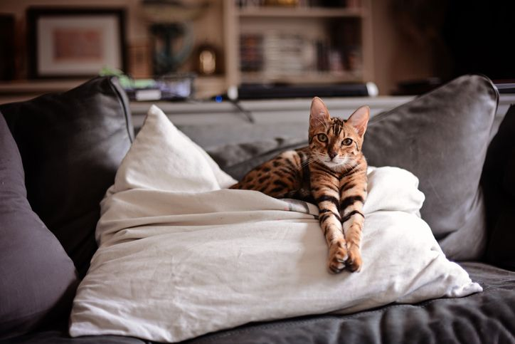 bengal kitten with paws outstretched sitting on a cushion