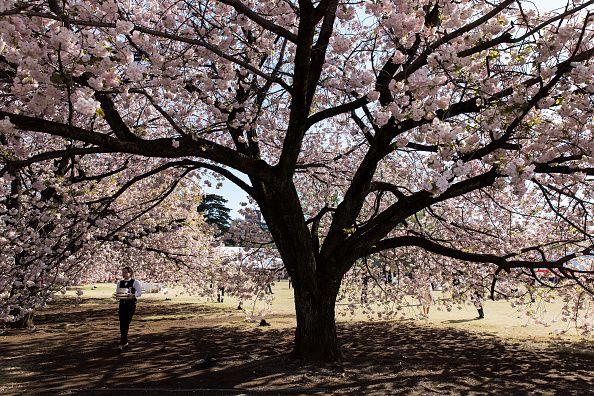 Waitress walking under sakura tree