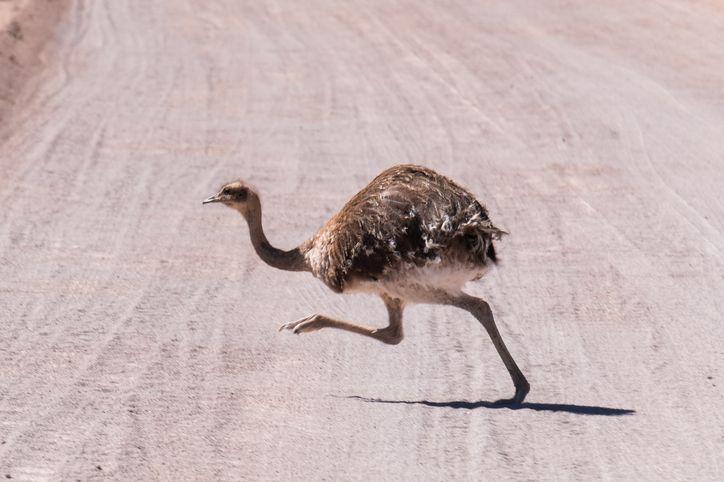 Ostrich running on a dirt road