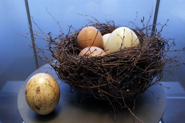 Basket of baby ostrich eggs