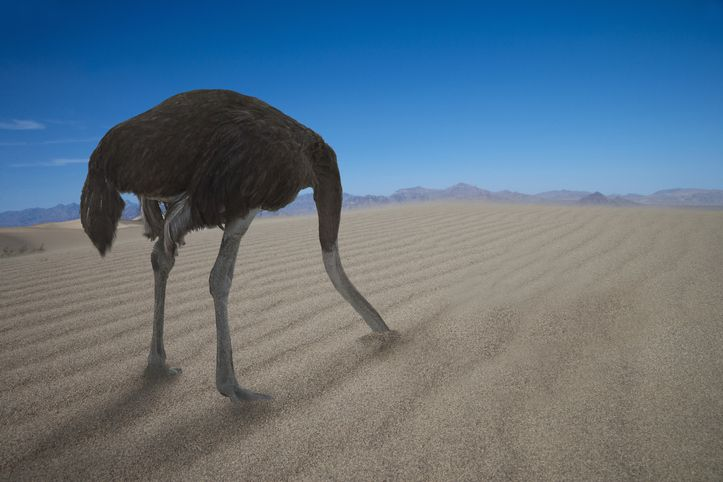Ostrich hiding his head in the sand