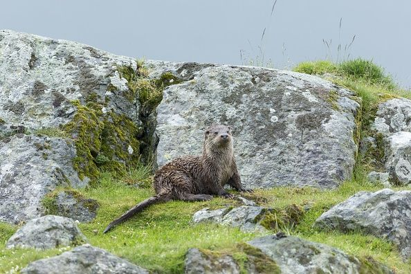 Sea otter chilling on the island of Mull, Scottland