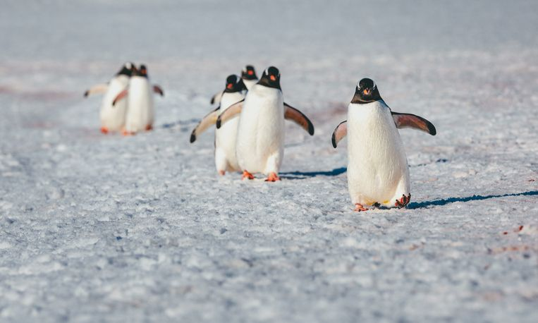 polar penguins hanging around in the arctic
