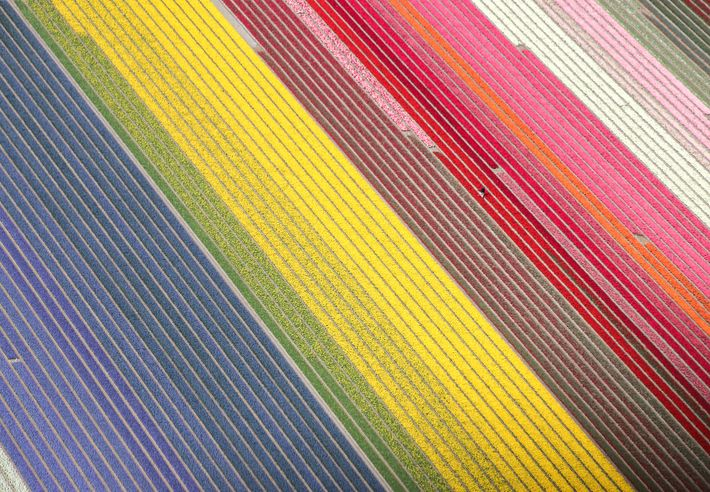 aerial view of Netherlands tulip fields