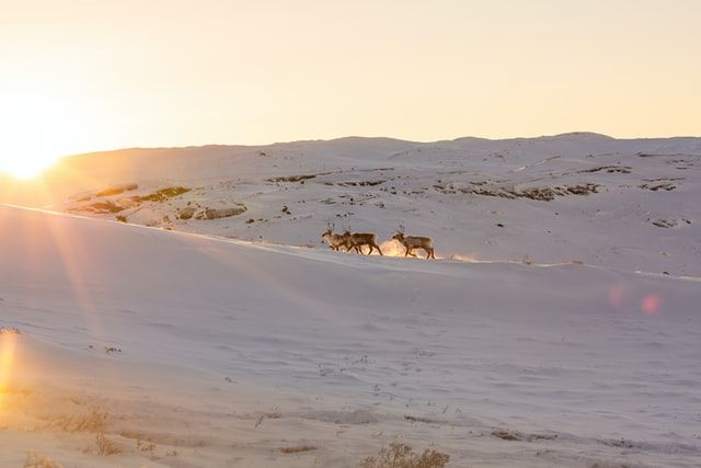deer running in greenland