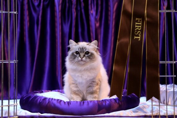 Birman Cat sitting on royal purple pillow winning first prize